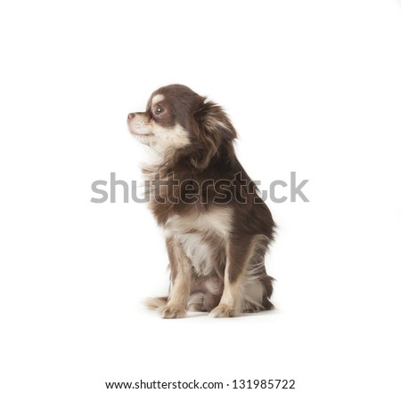 chihuahua laying on isolated background