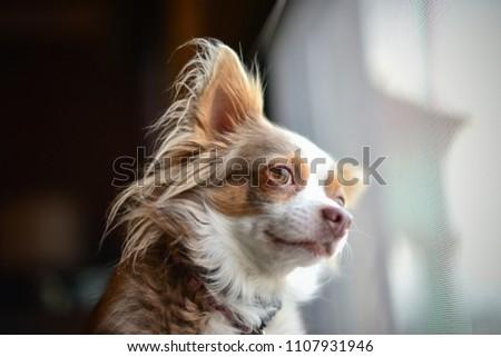 Chihuahua long hair dog looking at the window.