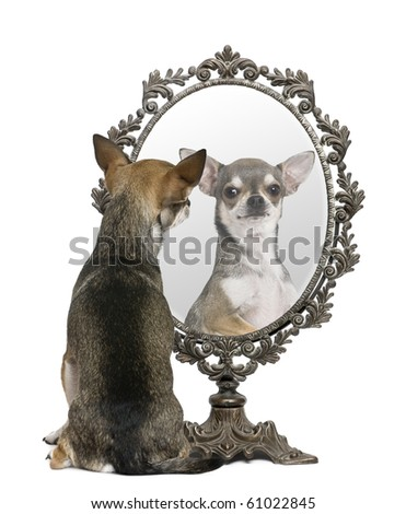 Chihuahua looking in mirror in front of white background