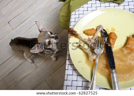 Chihuahua looking up at leftover meal on dinner table