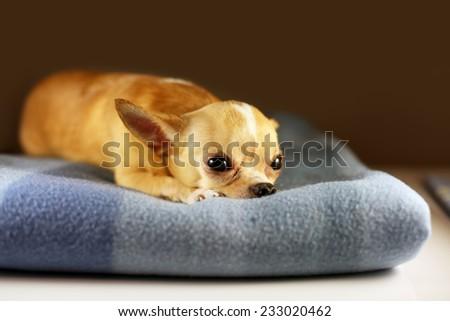 Chihuahua lying on blanket. Small dog falls asleep. Alone home. Friendly mini dog.