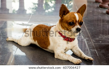 Chihuahua lying on the ground, brown white stripes. #607006427