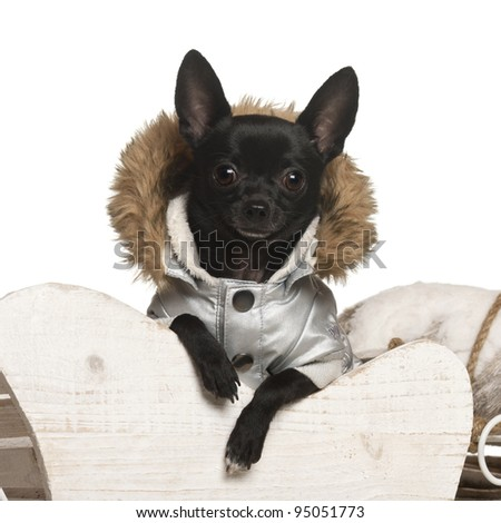 Chihuahua, 11 months old, in Christmas sleigh in front of white background