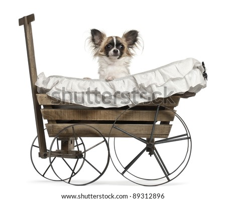 Chihuahua, 10 months old, sitting in old-fashioned wagon in front of white background