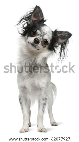 Chihuahua, 12 months old, standing in front of white background