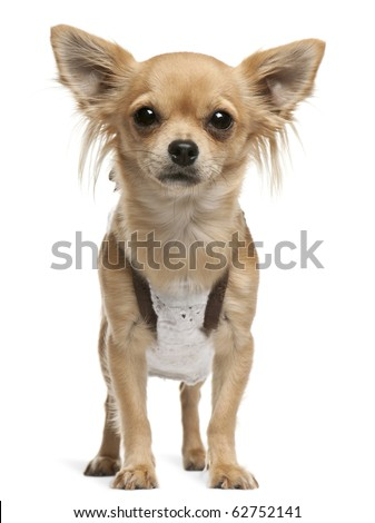 Chihuahua,14 months old, standing in front of white background