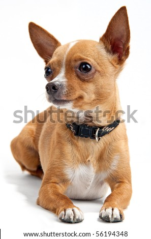 Chihuahua on the white background in the studio