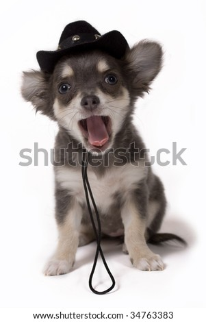 chihuahua pup as cowboy