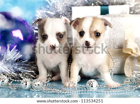 Chihuahua puppies  and  New Year's ball