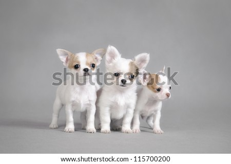 Chihuahua puppies portrait