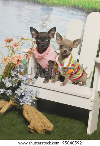Chihuahua Puppies Sitting in a white Adirondack Chair by a Pond