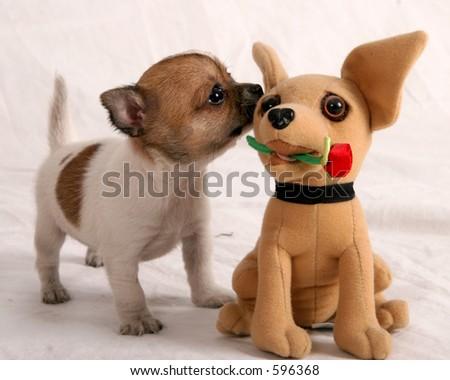 Chihuahua puppies smelling a chihauhau stuffed animal stock photo