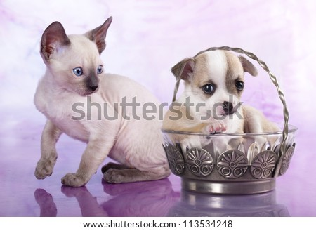 Chihuahua puppy and kitten