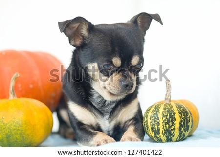 chihuahua puppy dog