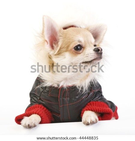 Chihuahua puppy dressed in bright jumpsuit isolated