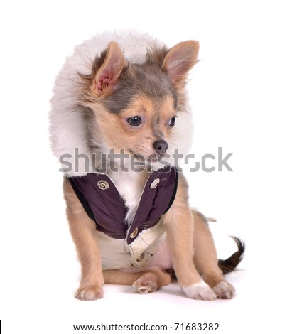 Chihuahua puppy dressed in coat, white background