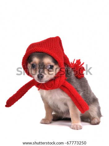 Chihuahua Puppy Dressed in Red Woolen Clothes