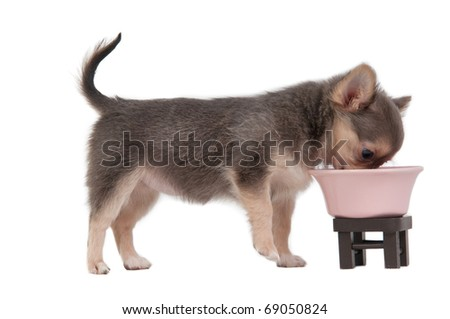 Chihuahua puppy eating from pink bowl, isolated on white background