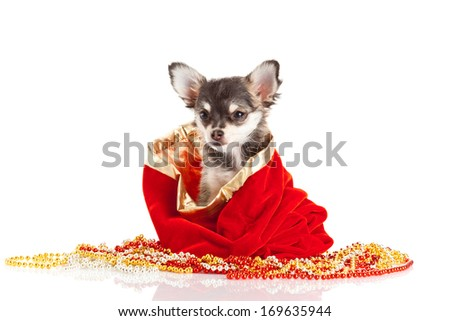 Chihuahua puppy for Christmas