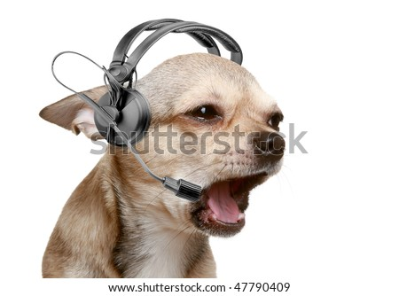 Chihuahua puppy friendly telephone operator. isolated