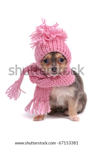 Chihuahua Puppy Funnily Dressed With Scarf and Hat For Cold Weather, Isolated