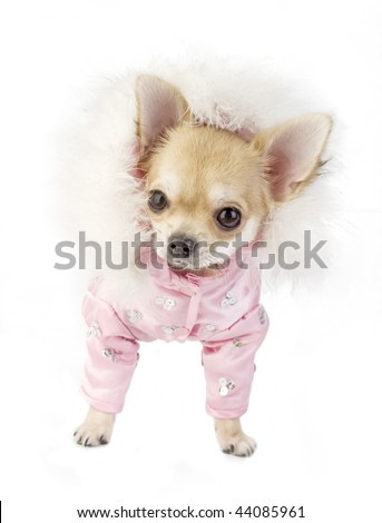 chihuahua puppy glamorous dressed in   hood decorated with ostrich down isolated