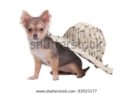 Chihuahua puppy hiding under handmade palm hat, isolated on white background