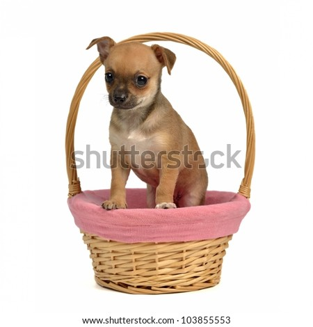 Chihuahua puppy in a basket, isolated on white