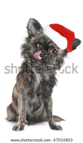 Chihuahua puppy in Christmas hat on white background