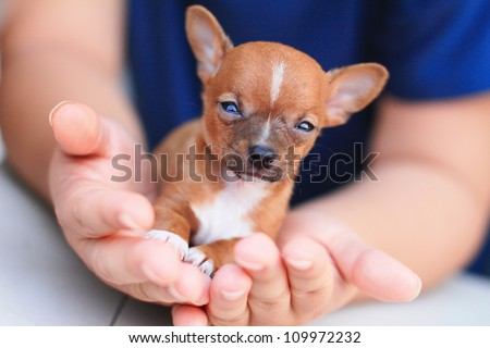 Chihuahua puppy in hand - stock photo