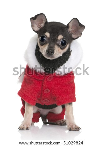 Chihuahua puppy in Santa coat, 3 months old, sitting in front of white background