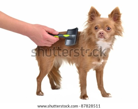 Chihuahua puppy is combed with a brush, isolated on white background