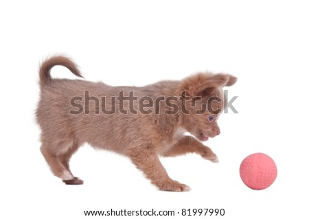 Chihuahua puppy is playing with a pink ball, isolated on white background