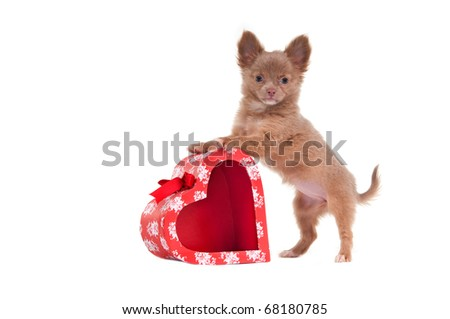 Chihuahua puppy is playing with red heart shaped present box isolated on white background