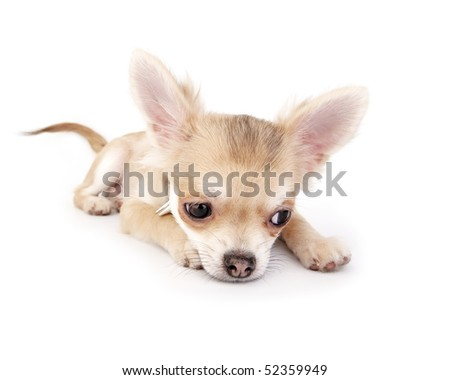 chihuahua puppy lying  down on white background