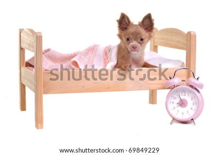 Chihuahua puppy lying in a bed with alarm-clock, isolated on white background