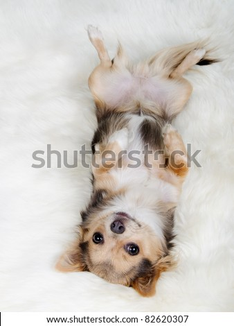 Chihuahua puppy lying on her back on white fluffy fur