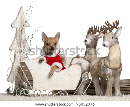 Chihuahua puppy, 4 months old, in Christmas sleigh in front of white background