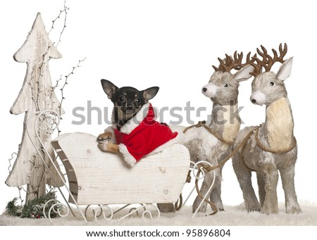 Chihuahua puppy, 5 months old, in Christmas sleigh in front of white background