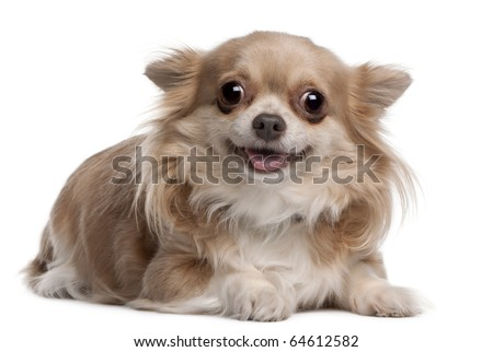 Chihuahua puppy, 6 months old, lying in front of white background