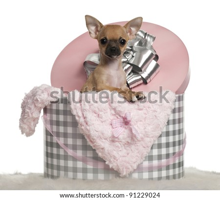 Chihuahua puppy, 3 months old, with Christmas gifts in front of white background