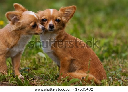 Chihuahua puppy on green grass - stock photo