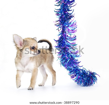 chihuahua puppy playing with multicolored tinsel