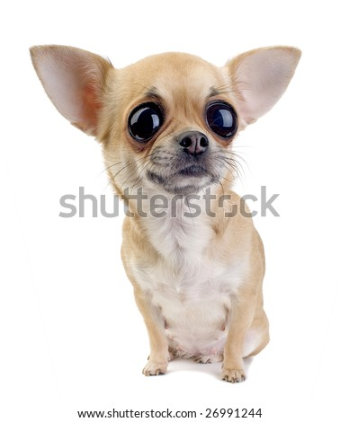 Chihuahua puppy portrait with big eyes isolated