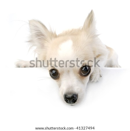 chihuahua puppy portrait with expressive eyes on white