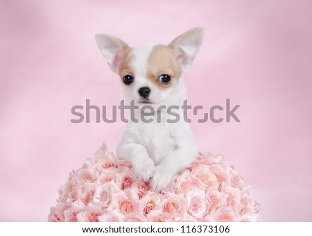 Chihuahua puppy portrait with pink roses
