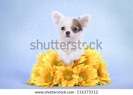 Chihuahua puppy portrait with yellow flowers
