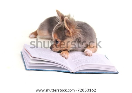 Chihuahua puppy reading a book isolated