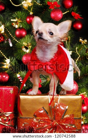 Chihuahua puppy sitting on present boxes on christmas tree background wearing christmas fancy dress