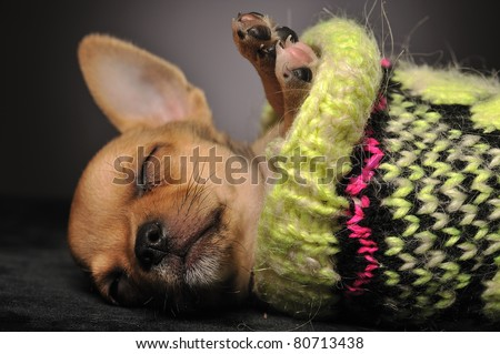 Chihuahua puppy sleeping in a woolen sock against black background